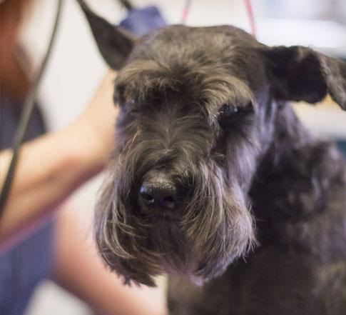 Black dog getting groomed